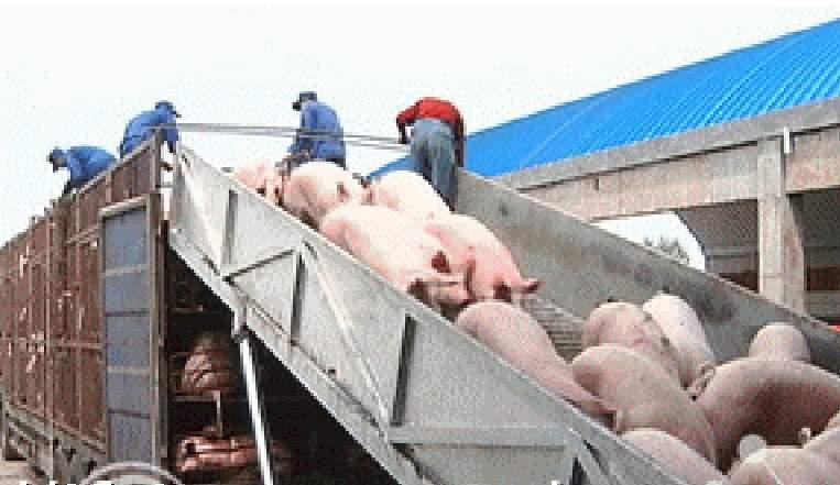 卸猪升降平台